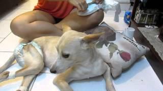 Trocando fralda de cachorro fêmea www.meupetespecial.com.br