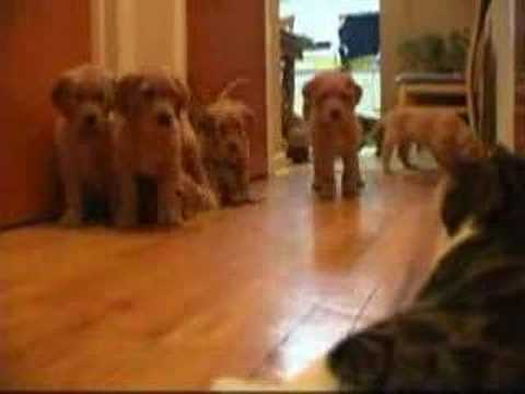 Puppy vs. Cat Video