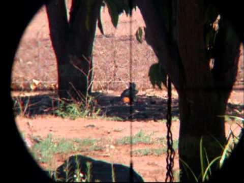 Hunting California Ground Squirrels shooting with .22 Benjamin Marauder PCP air gun part 2