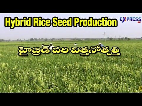 Success Story of Hybrid Rice Seed Production : Paadi Pantalu | ExpressTV