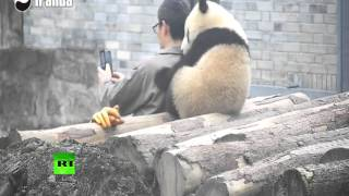 Rare video (on RT): Panda taking selfie with a man in China