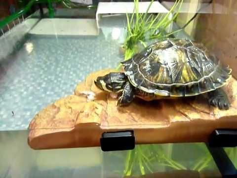 Tortue d 39 eau caroline et son repas youtube for Bassin exterieur pour tortue de floride