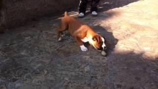 Chien drôle (bébé boxer)