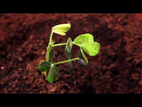 Erdnuss Als Zimmerpflanze Heranziehen
