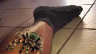 Tarantula crawls up man's leg