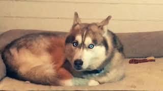 Husky Demonstrates What Anxiety Looks Like