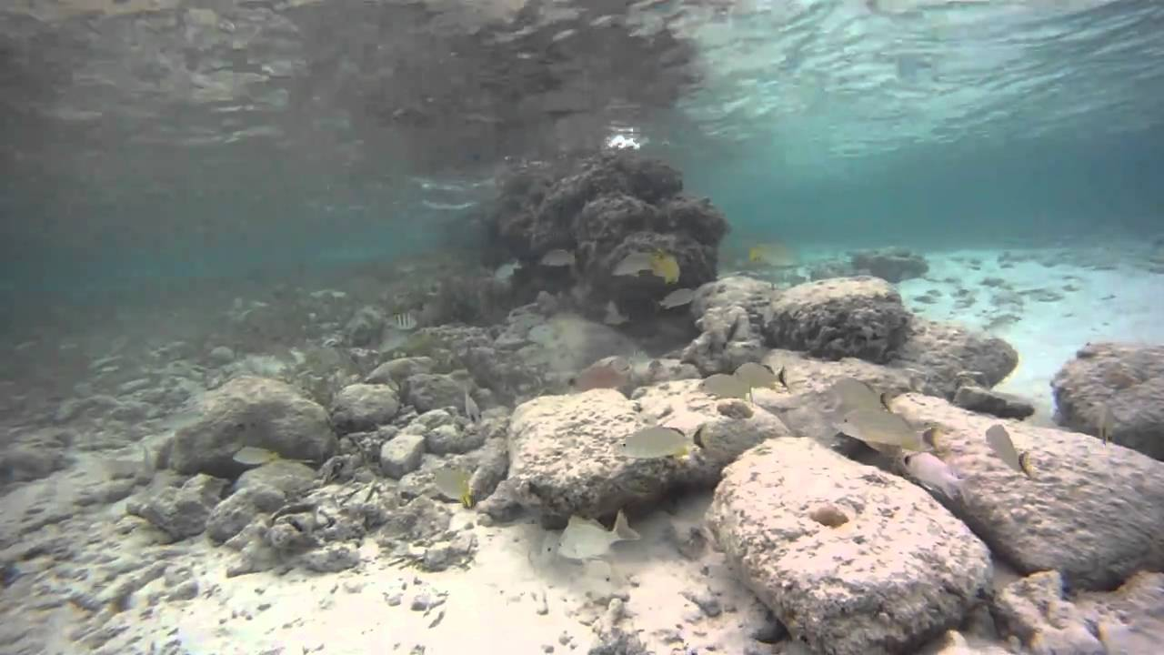 Electric Eel Attacks Crocodile