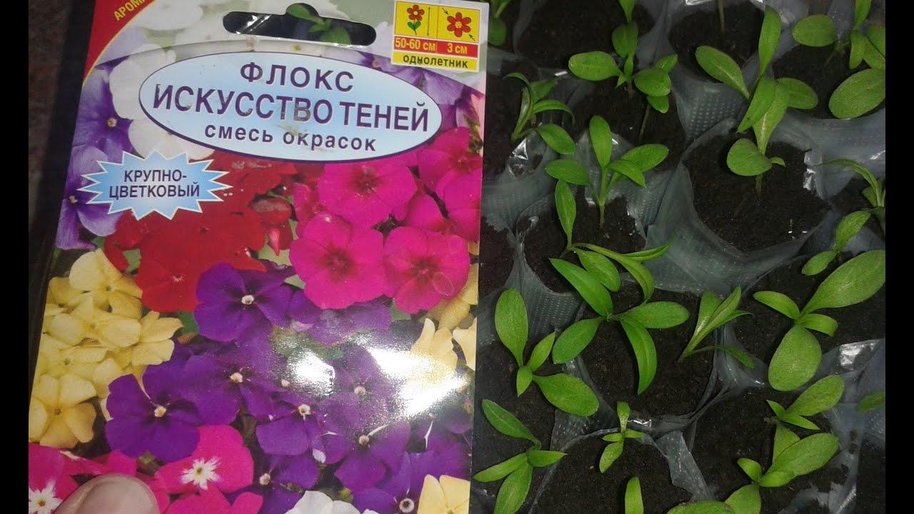 Флоксы многолетние: посадка и уход, размножение семенами и