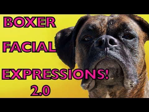 Boxer Dog FACIAL EXPRESSIONS 2.0!!! BROCK THE BOXER - Youtube