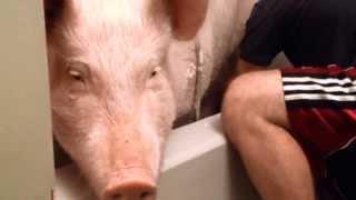 """Schweine sind reinlich, sensibel, klug, brav, verspielt...schaut selbst """"Badetag"""" bei Hausschwein Es"""