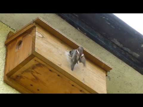 House Sparrow Nest Box ▶ House Sparrow Nestbox Box
