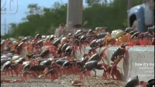 Swarming Cuban Land Crabs