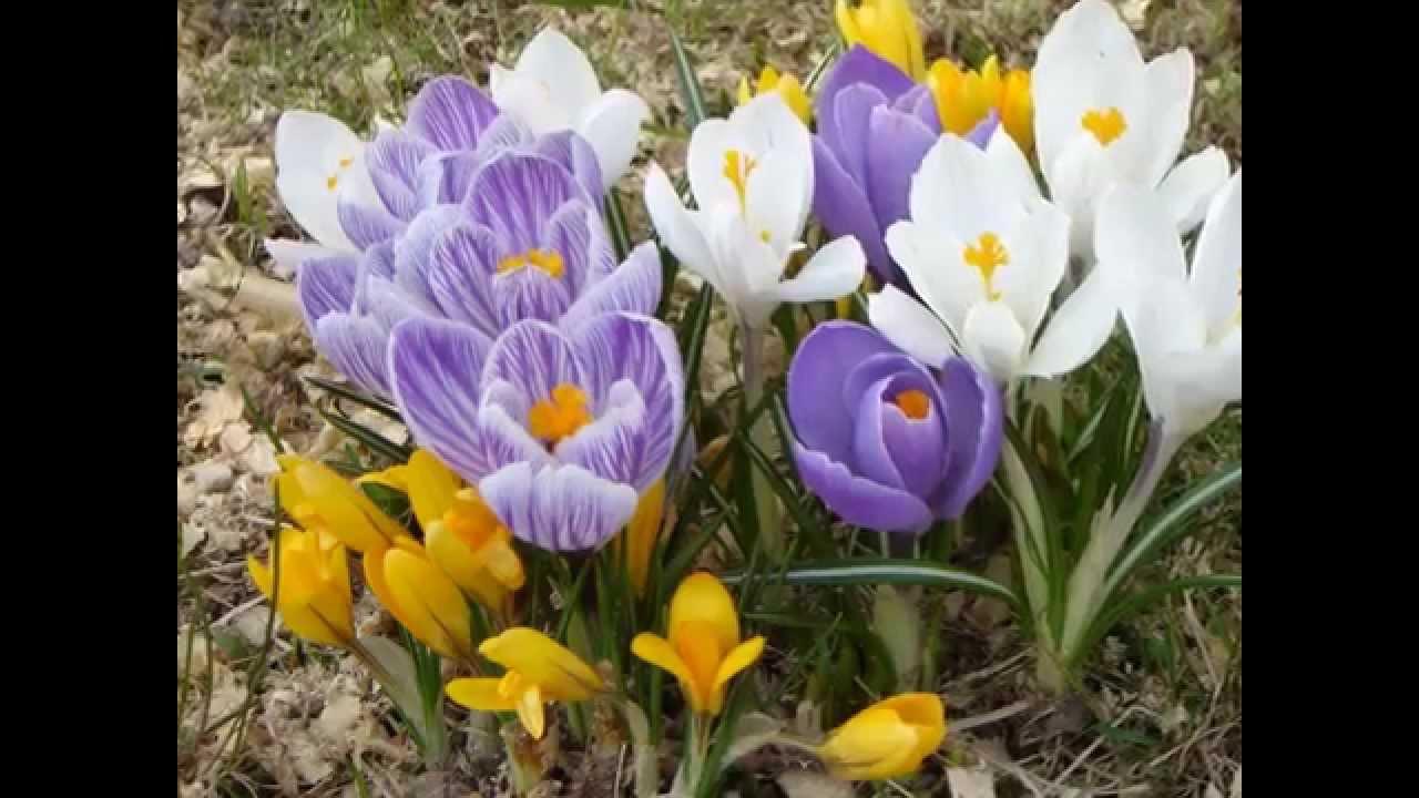 первые весенние цветы картинки и названия