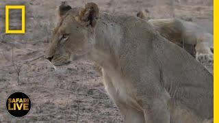 Safari Live - Day 265 | National Geographic