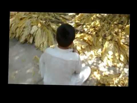 Child Labour in Tobacco Fields of Swabi-Pakistan