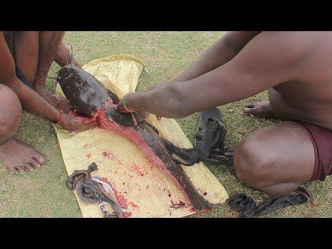 Thế Giới Động Vật : Xem Thổ Dân Bắt Và Làm Thịt Cá Trê Khủng