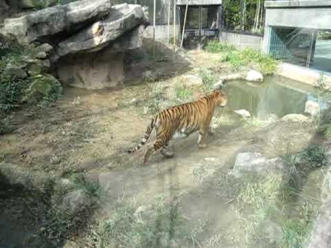 石川動物園 トラ 1