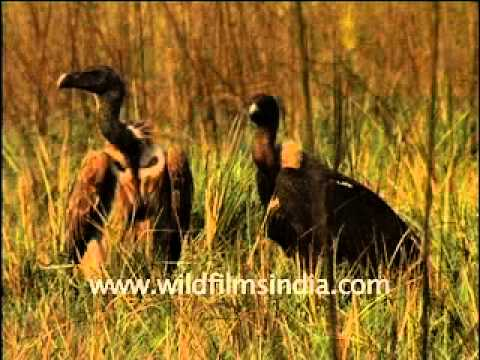 The ones that got away: White-backed and King Vultures in north India Video