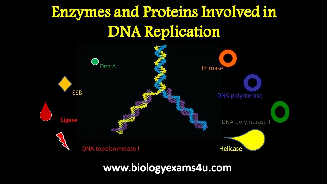 Dna Replication Protein Dna Replication And Their