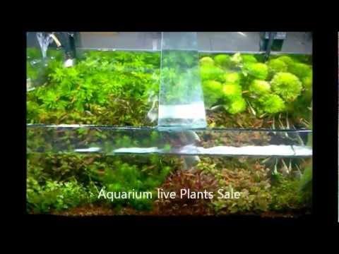 Aquarium Natural Live Plants