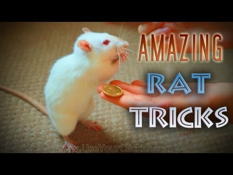 Awesome, Amazing Rat Tricks video