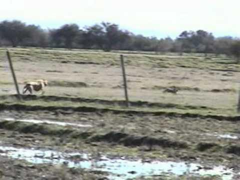 caza de liebres con galgos parral-chile.3