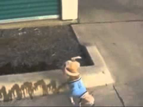The Amazing Peeing Chihuahua video