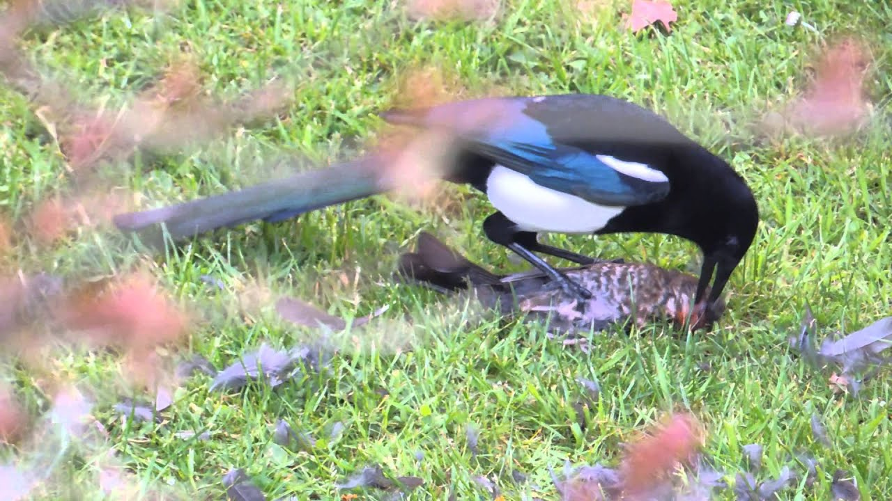 Magpie kills bird - YouTube