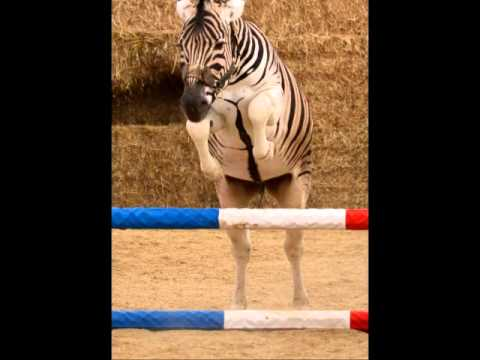 Show Jumping Zebra Zebra Zorro Jumping And