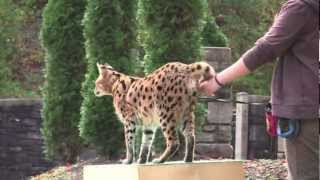 Serval Training Demonstrations @ The Maryland Zoo