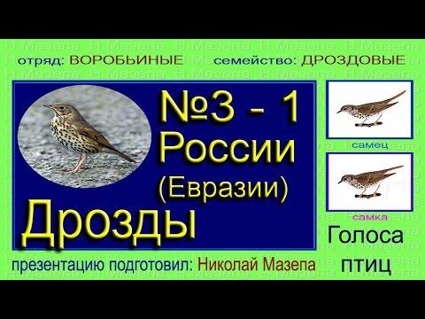 Дрозды России (Евразии). Голоса птиц