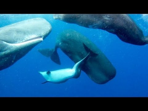 SPERM WHALES 'ADOPT' DEFORMED DOLPHIN