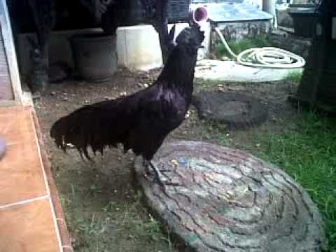 Ayam Cemani Bekisar.3gp video
