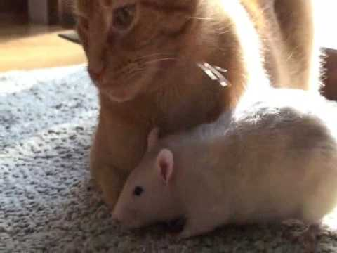 Rat loves cat! Video