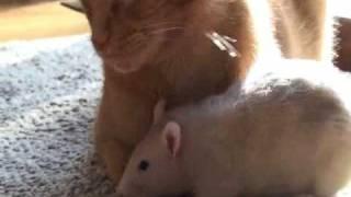 Thumb La rata que ama a un gato