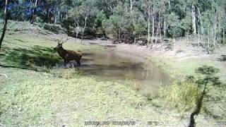Stag of the mountain - Red Deer Stag NSW Australia