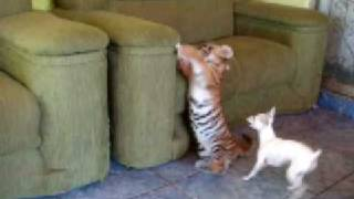 Tiger Cub playing with dog (Tigrinho brincando com cão)