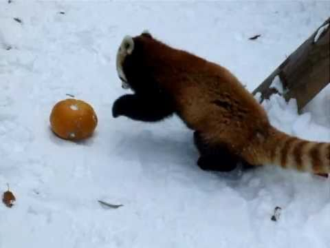 Thumbnail of video Red panda juega con una calabaza y se lo pasa pipa