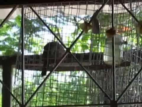นกเขาชวาเสียงเล็ก สำหรับหัดเลี้ยงฟัดฟัง #2