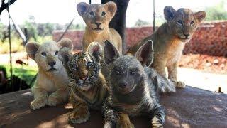 Baby Animals: Baby Lion, Baby Tiger & Baby Hyena Cub Animal Cuteness!