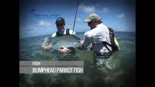 Bumphead Parrot Fish: fly fishing the flats: Seychelles