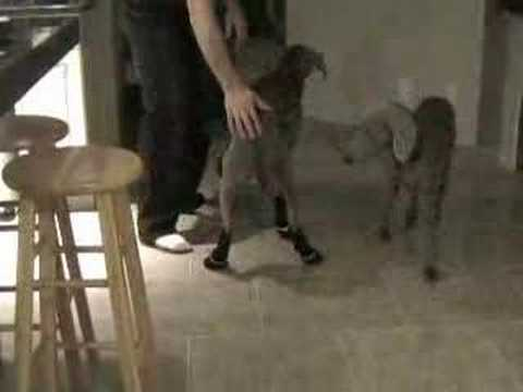 Weimaraners in Muttluks