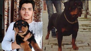 Rottweiler puppies are available for sale.