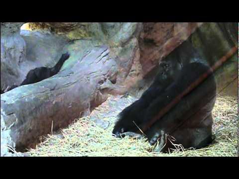 2011年6月28日の上野動物園のゴリラの父子。Dad and cute baby gorilla Komomo.