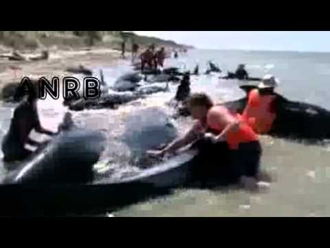 News - Stranded Whales Refloated In New Zealand