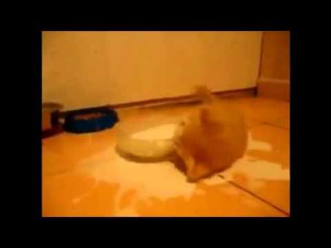 Крохотный котэ без ума от молока