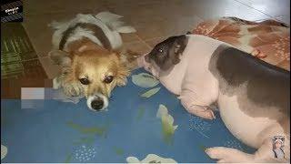 Chuyện lạ đời - Lạ lùng chuyện nuôi lợn như con gái trong nhà