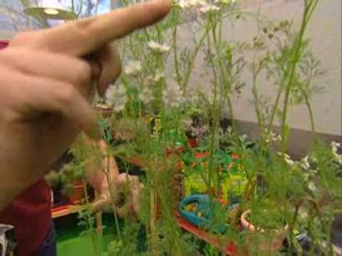 Bricoman a jardiner a cultivo del cilantro en casa youtube for Jardineria en casa