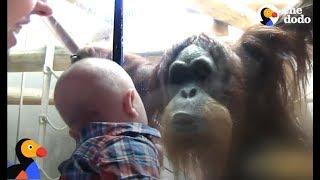 Orangutan Kisses Baby Through Zoo Glass | The Dodo