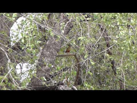 Header of African Pitta